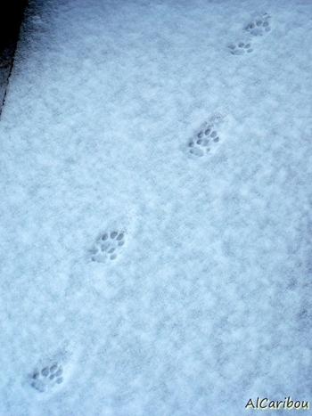 Traces dans la neige...