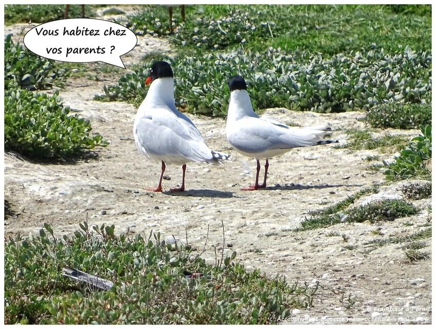 Accouplement Mouettes Mélacéphales - Mai 2016
