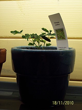 Mimosa-pudica.jpg