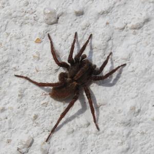 Araignée n°1 - Alopecosa, famille des Lycosidae ou Araignée-loup - qui ne tisse pas de toile