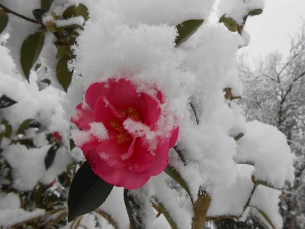 camélias rose