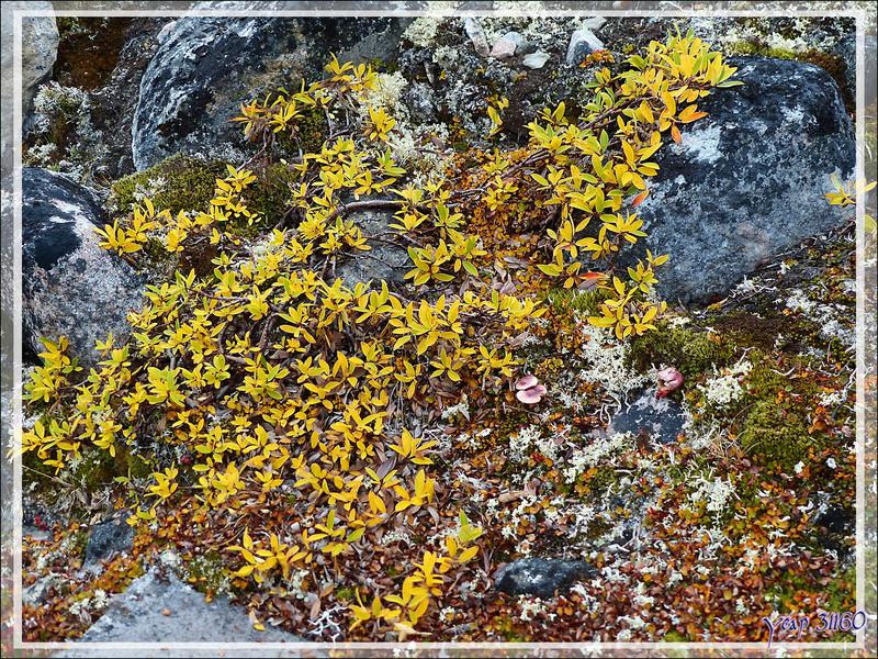 Aperçu de la végétation polaire - Kullorsuaq - Qaasuitsup - Groenland