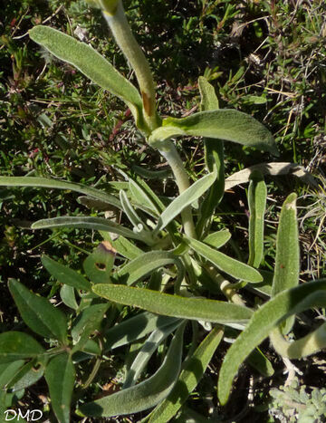 Phlomis lychitis  -  phlomis lychnite