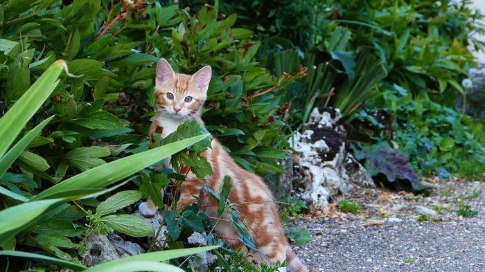 Chaton roux surveille
