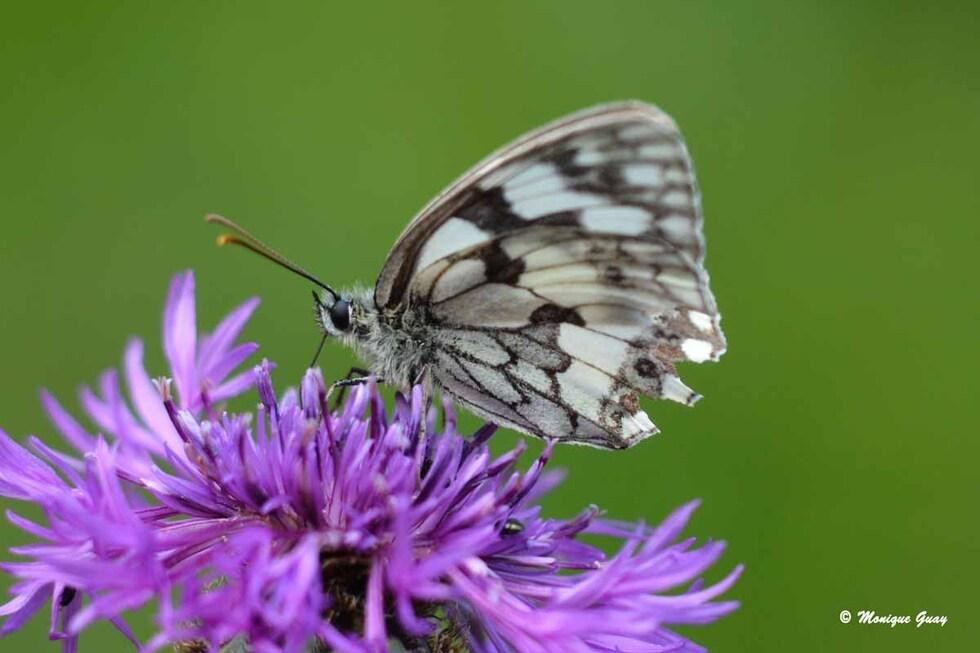Papillon Demi-deuil