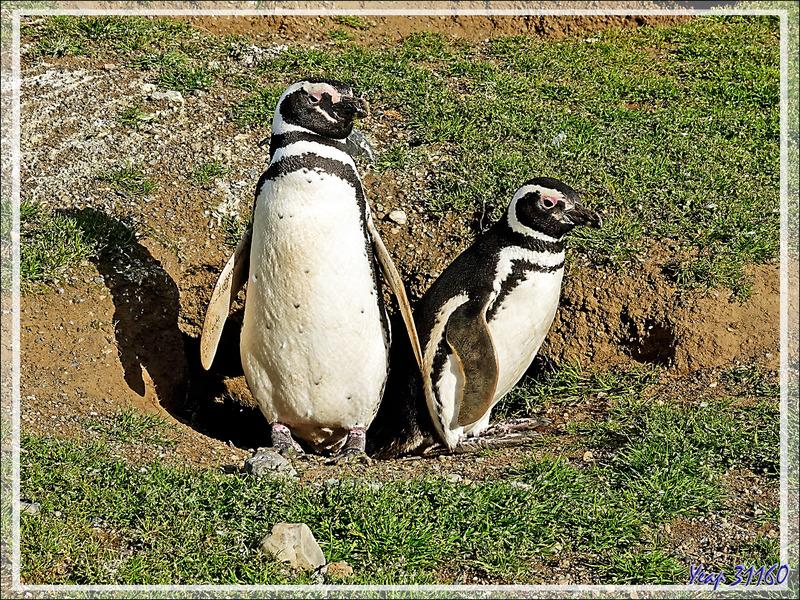 Beau couple de Manchots de Magellan, Magellanic Penguin, Pingüino patagónico, Pingüino de Magallanes (Spheniscus magellanicus) - Île Magdalena - Patagonie - Chili