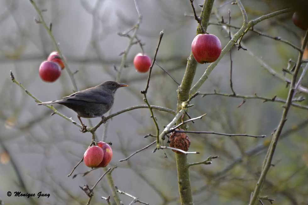 Merle au milieu des pommes