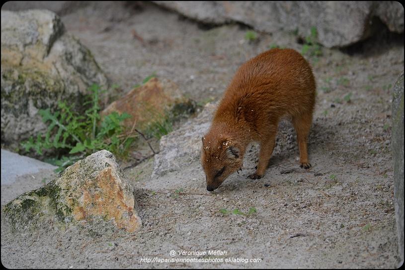 La Ménagerie, Zoo du Jardin des Plantes : Mangouste Jaune ou mangouste fauve