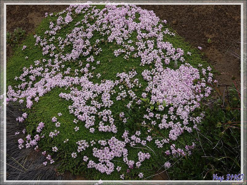 Fleurs blanches et roses en coussin Verveine de Buenos Aires (Junellia minutifolia ou tridactylites) - El Calafate - Argentine
