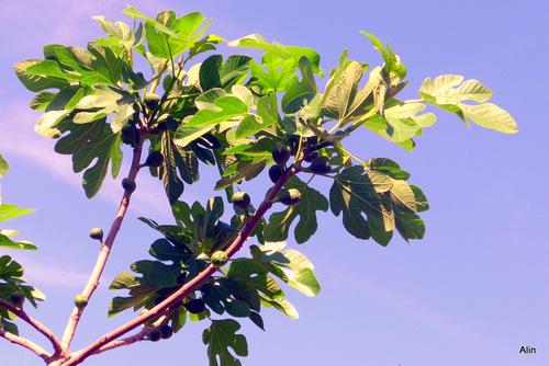 Une branche de figuier