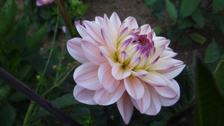 Dahlia décoratif Diana's Memory