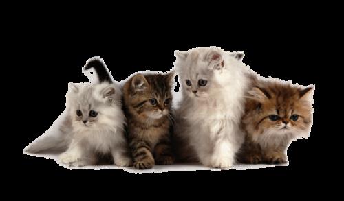 Tubes chats en png