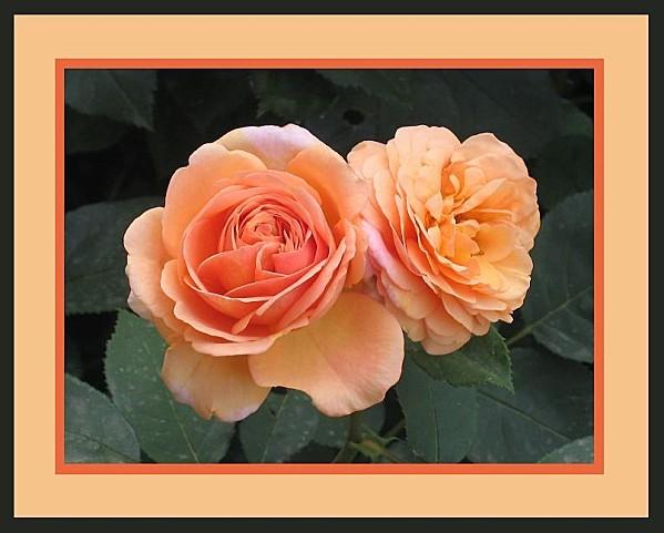 rosier anglais