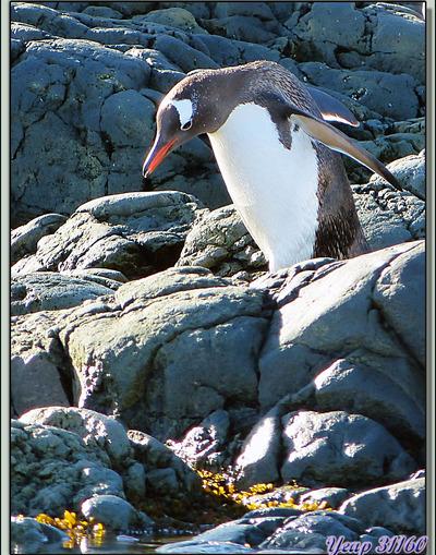 Débarquement dans Paradise Bay pour une balade à Skontorp Cove (Manchots Papous, Cormorans Impériaux, Chionis, glaciers) - Péninsule Antarctique