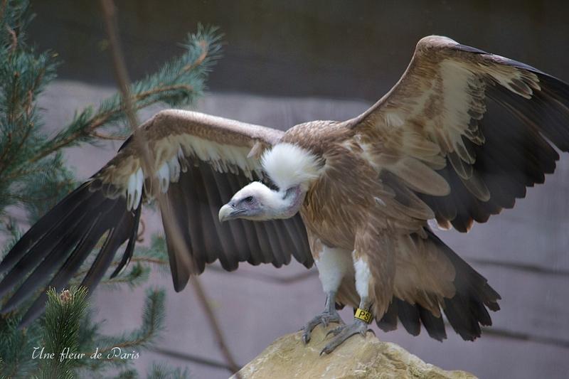 Le Parc Zoologique de Paris : Le Vautour Fauve