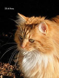 Chat roux et blanc B