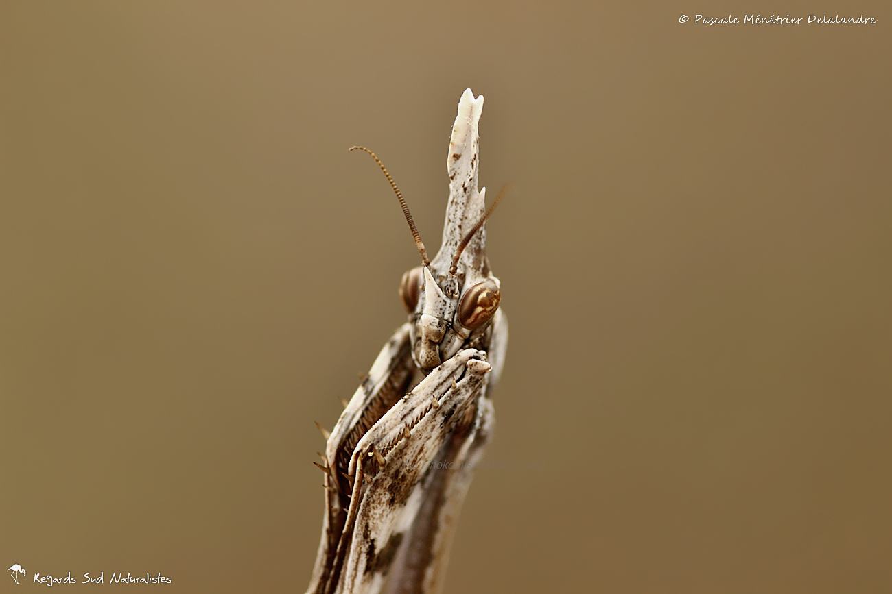 Empuse commune ♀ (Empusa pennata)