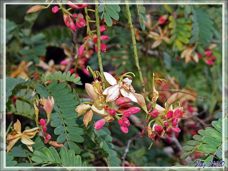 Floraison de Tamarinier (Tamarindus indica) - Nosy Sakatia - Madagascar