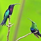 Dialogue avec un colibri madère - Photo : Yvon