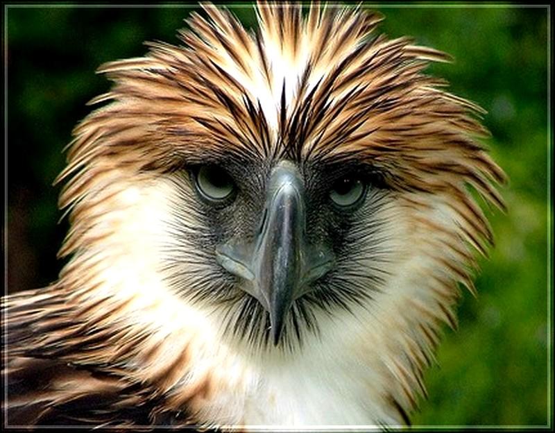 l'Aigle des Philippines ou l'Aigle des singes