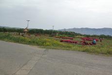 Ramassage des oignons rouges