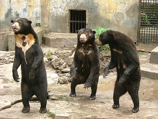 800px-Sun bear medan old zoo