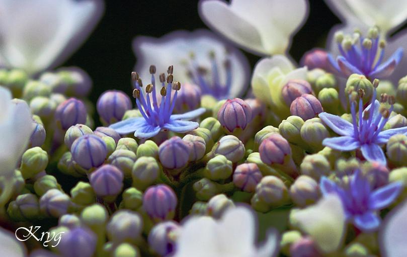 L Hortensia A Fleurs Plates Appele Hydrangea Teller Kryg Photos