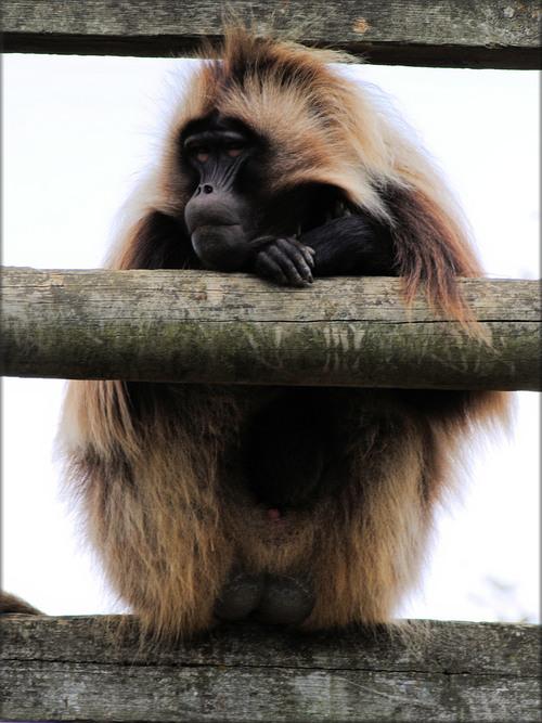 Photo de Primate Gélada - Zoo de la Boissière du Doré