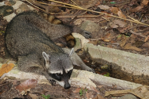 Raton laveur (Costa Rica)