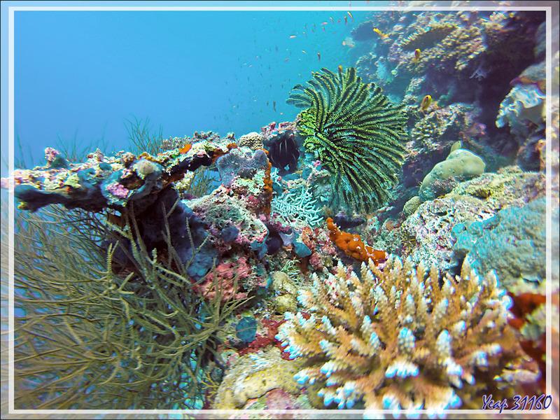 Comatule de Bennett (Anneissia bennetti) - Moofushi - Atoll d'Ari - Maldives