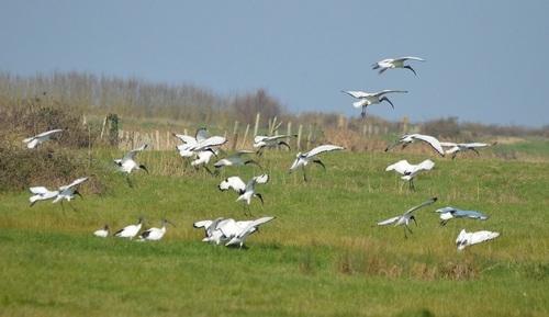 ... vol d'ibis...