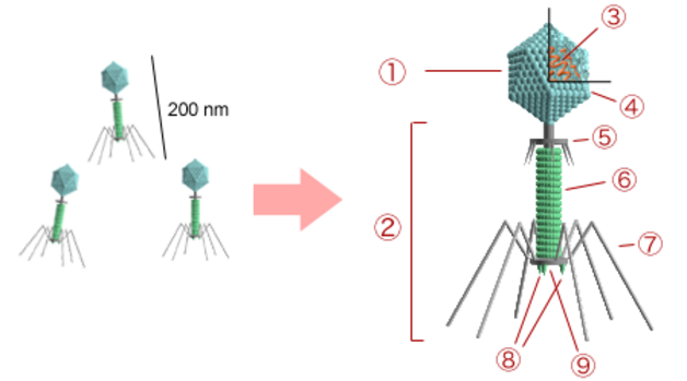 Bactériophage (wikipedia)
