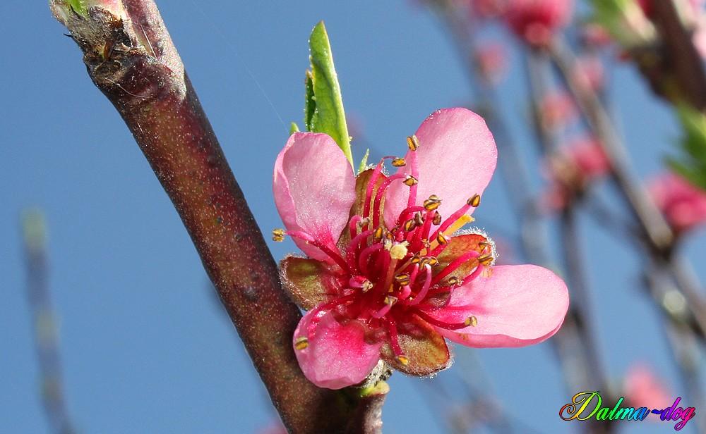 les pêchers et les cerisiers déjà en fleur