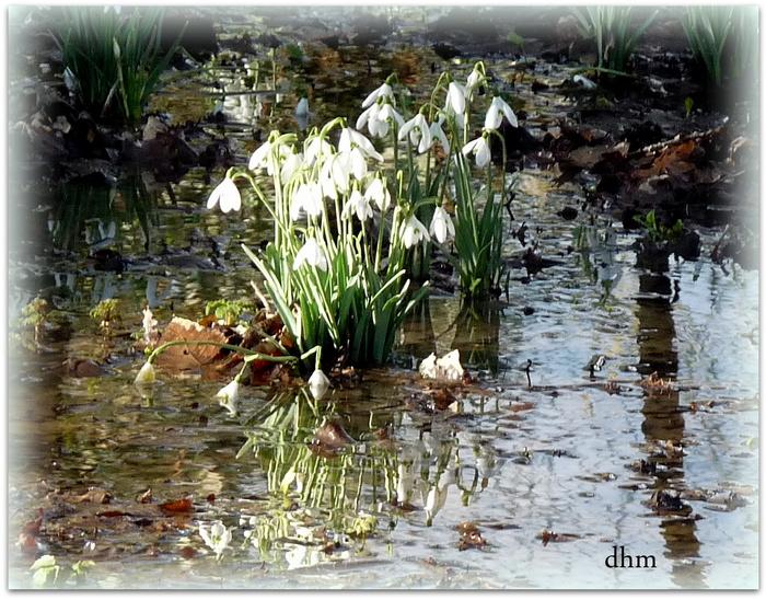 Florilège de perce-neige