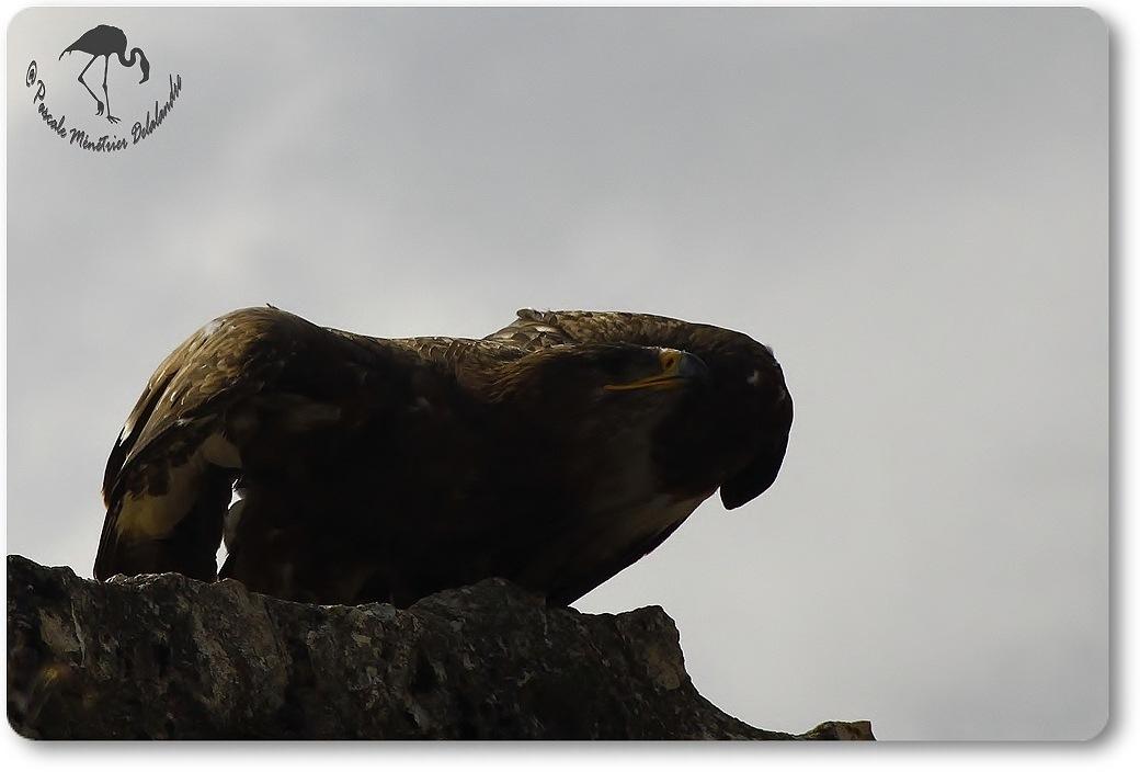 Aigle royal (?) - Décomposé d'une envolée...