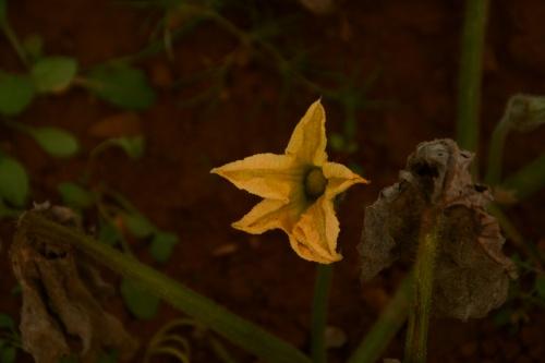 fleurs de cucurbitacées