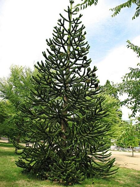 arborétum chamberet - araucaria-