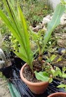 musella lasiocarpa (ou lotus d'or)