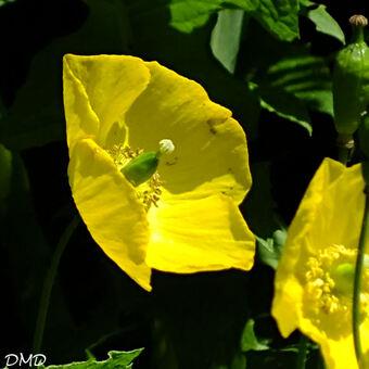 Papaver cambricum  -  pavot du Pays de Galles