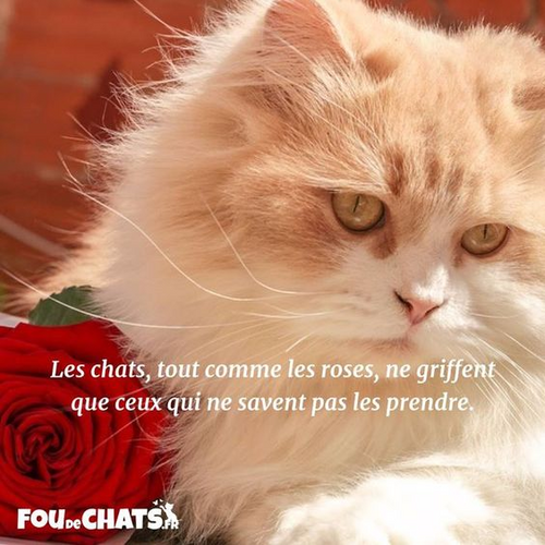 Chat et roses