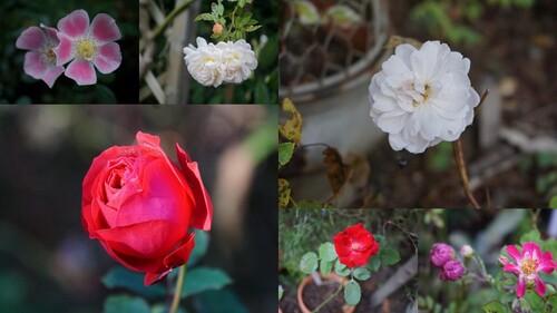 12 mois de roses