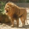 lion 6.jpg