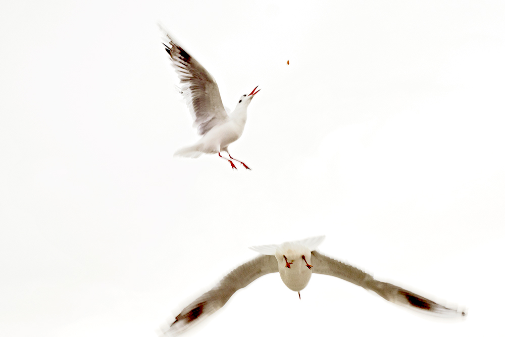 mouette,opportuniste,pain,vol,seine