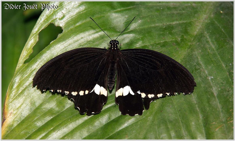 Mormon Commun / Papilio polytes