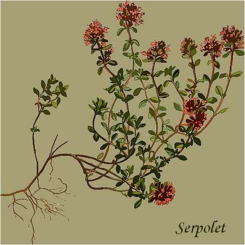 Vertus médicinales des plantes sauvages : Serpolet