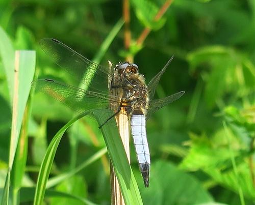 libellule déprimée (libellula depressa)