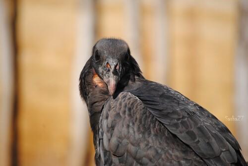 Le vautour pape.