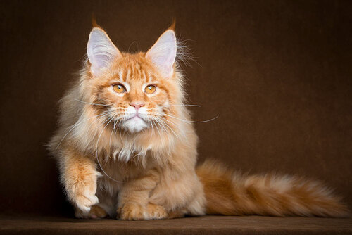 15 belles photos de Maine Coon