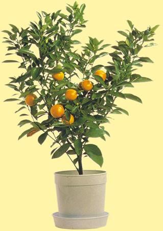 citrus.mitis