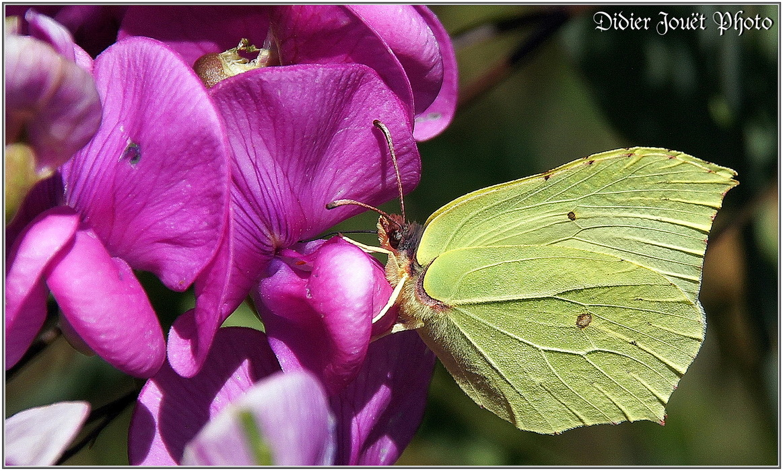 Citron / Gonepteryx rhamni